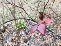 Rose Leaves no foco imagens de stock royalty free