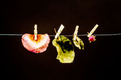 Rose leaves with small laundry nippers and a thin wire Stock Photo
