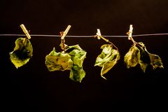 Rose leaves with small laundry nippers and a thin wire Royalty Free Stock Image