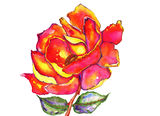 Rose and Leaves Watercolor. Vibrant red, pink, orange rose with green and purple leaves watercolor painting royalty free illustration