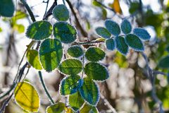 Rose leaves in winter Stock Photography