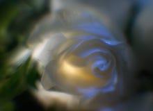 Rose: leichter Hintergrund Lizenzfreie Stockbilder