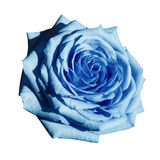Rose light blue flower on  white isolated background with clipping path.  Closeup no shadows. Stock Images