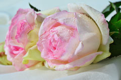 Rose light pink esperance with a touch of green Stock Photos