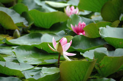 The rose lily. On the pond Stock Photo
