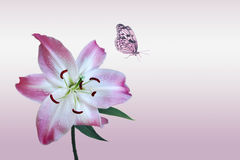 Rose lily with butterfly. On light background stock photo