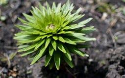 Rose Lily-spruit met regendalingen royalty-vrije stock fotografie