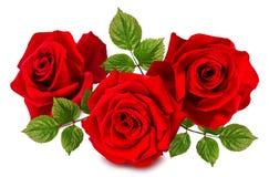 Rose lokalisierte auf dem Weiß Lizenzfreies Stockfoto