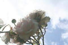 Rose Looking Upwards Fotografie Stock