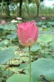 The rose lotus Stock Photos