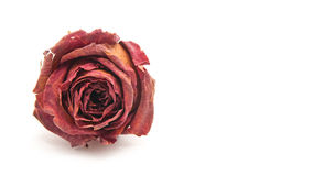 A Rose for Love Royalty Free Stock Images