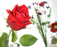 Rose of love Royalty Free Stock Images