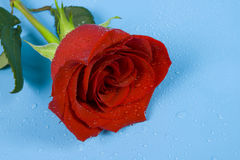 Rose of love with drops. Red Rose of love with drops is on the blue surface Stock Photos