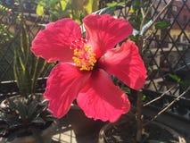 Rose Love roja floreciente Imagenes de archivo