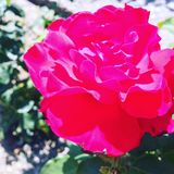 Rose. Love roses and Royalty Free Stock Photography