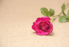 Rose love Royalty Free Stock Photography