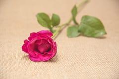 Rose love Stock Image