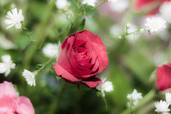 Rose of love. Rose for valentine , wedding flower Royalty Free Stock Photography