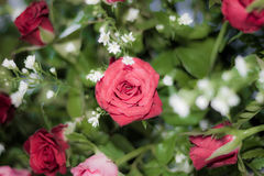 Rose of love. Rose for valentine , wedding flower Stock Image