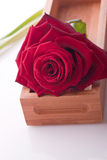 Rose for love wedding and valentine Royalty Free Stock Images