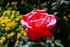 Rose lumineuse de rose dans mon jardin Photographie stock
