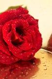Rose lumineuse de rouge dans une rosée Photos stock