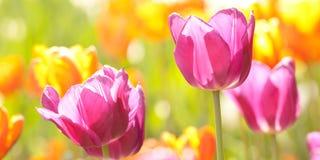 Rose lumineux et tulipes oranges dans un domaine ensoleill? de ressort images stock
