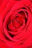 Rose macra Foto de archivo