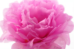 Rose macro. Macro table rose on isolated background Royalty Free Stock Photos