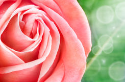 Rose macro royalty free stock photos