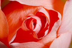 Rose macro, abstract background Royalty Free Stock Photography