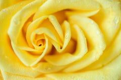 Rose Macro amarilla Fotografía de archivo
