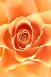 Rose macro/ background stock photo