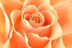 Rose macro/ background Stock Images