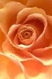 Rose macro/ background Stock Photos