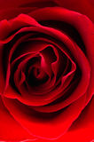 Rose macro/ background Stock Photo