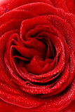 Rose macro/ background Stock Photography