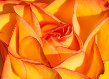 Rose macro background Stock Photo