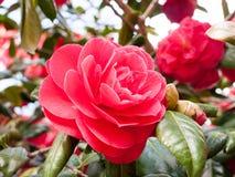 Rose Macro From Below rouge au soleil photo libre de droits