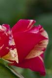 Rose. Macro detail rose in the garden Stock Photos