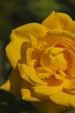 Rose. Macro detail rose in the garden Royalty Free Stock Photo