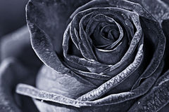 Rose macro monochrome Royalty Free Stock Photos