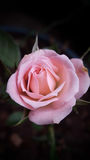 Rose macro perfection Stock Photos