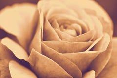 Rose macro, retro photo effect Royalty Free Stock Photo
