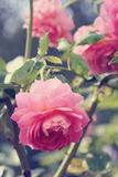 Rose macro, retro photo filter effect Royalty Free Stock Images