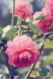 Rose macro, retro photo filter effect Royalty Free Stock Images