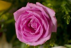 Rose Macro rosada con descensos de rocío Foto de archivo libre de regalías