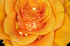 ROSE! Macro shooting: beautiful effects with water drops royalty free stock image