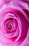 Rose macro shot Stock Photo