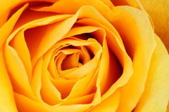 Rose. Macro shot of a yellow rose. Suitable as a natural abstract Stock Photos